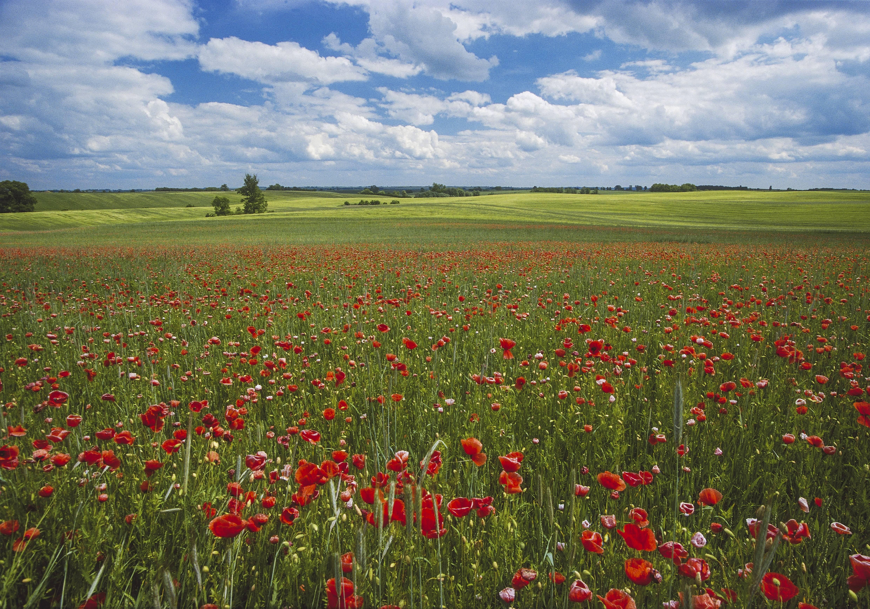 Feld mit Mohnblumen Mecklenburg Vorpommern Deutschland