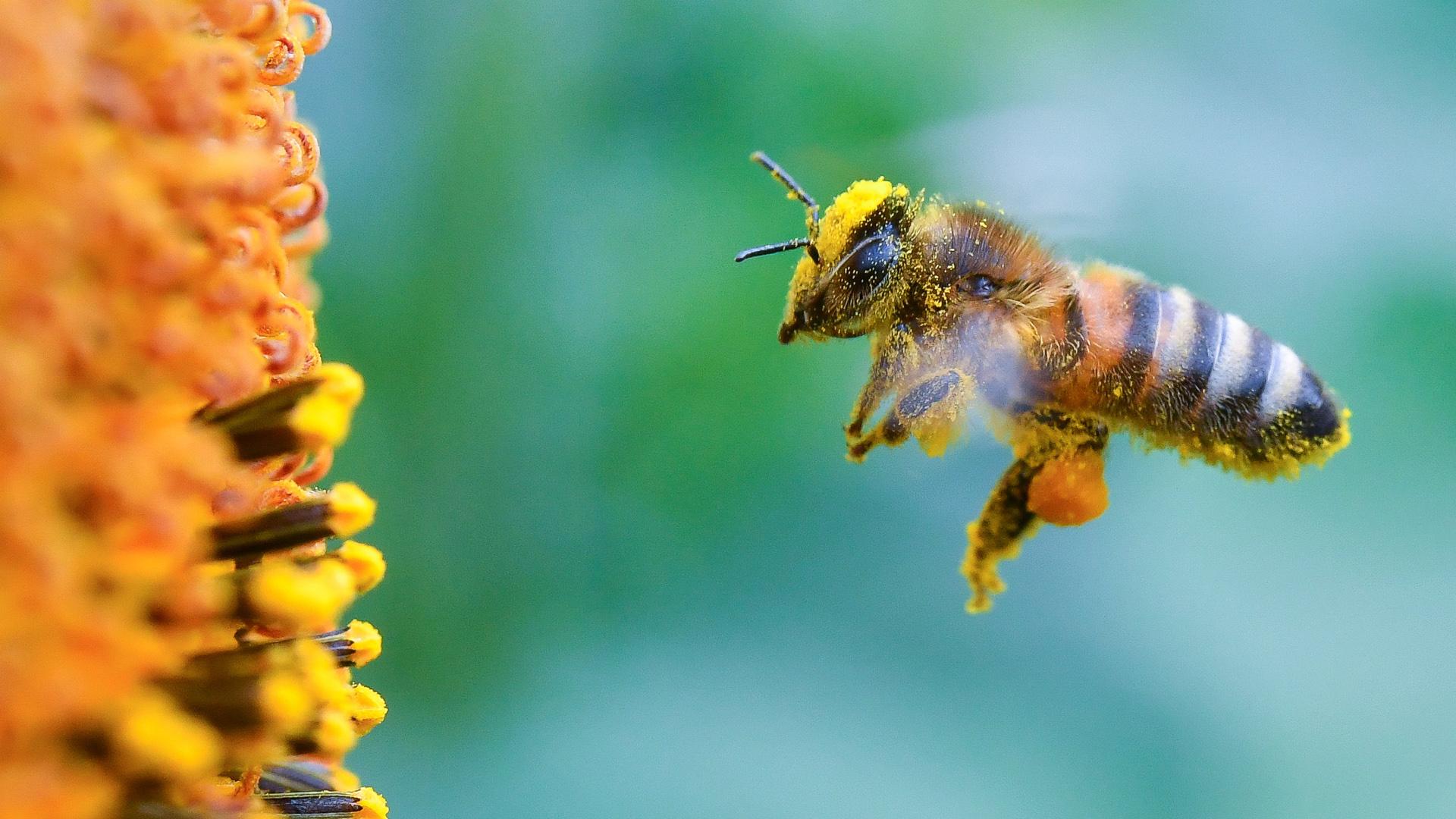 Pollen Bienen